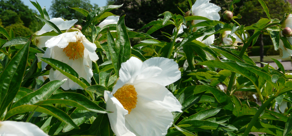 White peonies in the Botanical Garden.
