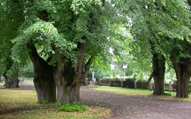 Photo of the forecourt in The Linnaeus Garden, Uppsala university. There is an graveled path and six old linden trees (lime trees).