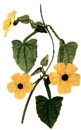 Illustration of Thunbergia alata, black-eyed Susan, has its botanical name after Carl Peter Thunberg.