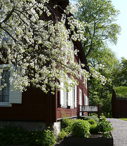 The manor's southwestern corner. Fresh spring greenery is sprouting in the flowerbeds and on the trees behind the house. In the foreground are some branches of mahaleb cherry, Prunus mahaleb , in full white bloom.