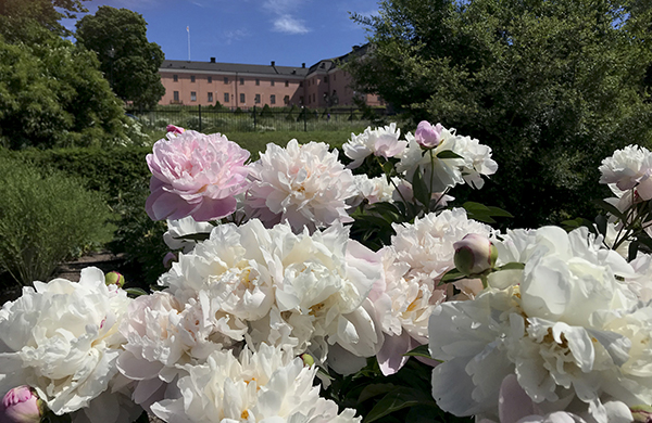 Peonias in the Baroque Garden of The Botaniska Garden in Uppsala. The Castle ca be seen in the background.