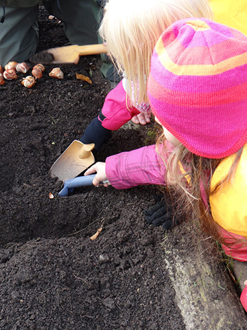Planting of bulbs
